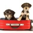 Razas de perros: el Bobtail