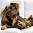 Razas de perros: el Carlino