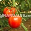 ¿Cómo extraer la semilla de un tomate?