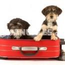 Razas de perros: el San Bernardo